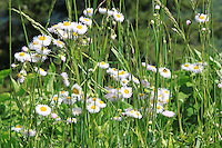 White Fleabane daisy wildflowers bloom in the summer in a forest trail in the great smoky mountain national park, America.