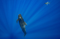 an oceanic whitetip shark, Carcharhinus longimanus, approaches a short-finned pilot whale, Globicephala macrorhynchus, north Kona Coast, Hawaii, U.S.A. ( Central Pacific Ocean )