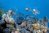 lionfish, turkeyfish, Pterois volitans, Egypt, Hurghada, Red Sea