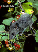 MU50-035z   White-footed Mouse Immature adult eating berries - Peromyscus leucopus