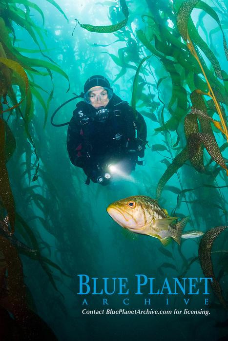 kelp bass, Paralabrax clathratus, and woman scuba diver, in giant kelp forest, Macrocystis pyrifera, San Benito Island, or Isla San Benito, Baja California, Mexico, Pacific Ocean