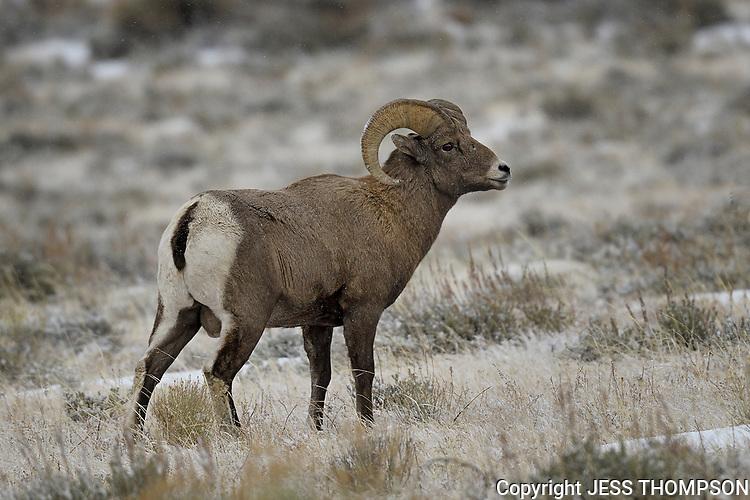 Bighorn Ram, Grand Teton National Park