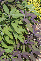 Purple and green sage growing together, Salvia officinalis 'Purpurascens' with Salvia officinalis