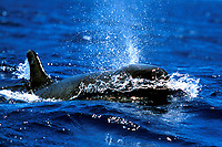 False Killer Whale, Pseudorca crassidens, surfacing, head and blow detail, in the AuAu Channel, Maui, Hawaii, USA.