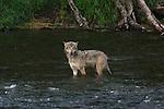 Gray wolves, AK