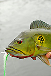 One of the three species of peacock bass, a butterfly Peacock Bass from the Amazon is recognized by the spots on it's side.
