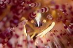 Brooks Sea Urchin Shrimp, Allopontonia brockii, Anilao, Philippines