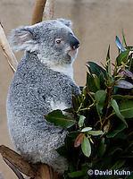 0802-1011  Koala, Phascolarctos cinereus © David Kuhn/Dwight Kuhn Photography
