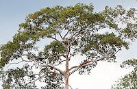 A lalau with several bees nests. Some trees can have as many as a hundred nests. In the past, the lalau with more than a hundred nests belonged to the Sultan. Owner of several forests, the Sultan entrusted the trees to his subjects, a means of guaranteeing control over his vast territory coveted by other Dayak communities in the surrounding area. ///Un lalao avec plusieurs nids d'abeilles. Certains arbres peuvent compter jusqu'à une centaine de nids. Autrefois les lalau avec plus de cent nids appartenaient au Sultan. Propriétaire de plusieurs forêts, le Sultan confiait les arbres à ses sujets, une manière de s'assurer le contrôle de son vaste territoire convoitée par les communautés Dayak alentour.