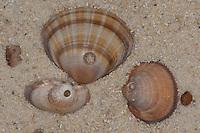 Frass-Spur einer Nabelschnecke an einer Muschel, Nabelschnecke hat Loch in die Muschel gebohrt, um diese auszufressen, Mondschnecken, Nabelschnecken, Lunatia spp., Euspira spp., Natica spp., moonsnails, moon snails, moon shells