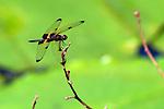 Australian Dragonfly