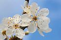 Blackthorn blossom {Prunus spinosa} Peak DIstrict National Park, Derbyshire, UK. March.