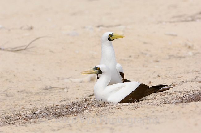 Pair of Masked Booby (Sula dactylatra) at nest. Dry Tortugas National Park, Florida. March.