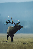 Elk, Wapiti (Cervus elaphus), bull bugling, Yellowstone National Park,Wyoming, USA