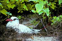 Red tailed tropicbird or koa e ula, (phaethon rubricauda rothschildi). Rare along windward coasts of main Hawaiian islands.