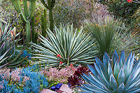 Agave angustifolia variegata (Caribbean Agave) in center among cactus and succulents, Jim Bishop and Scott Borden garden