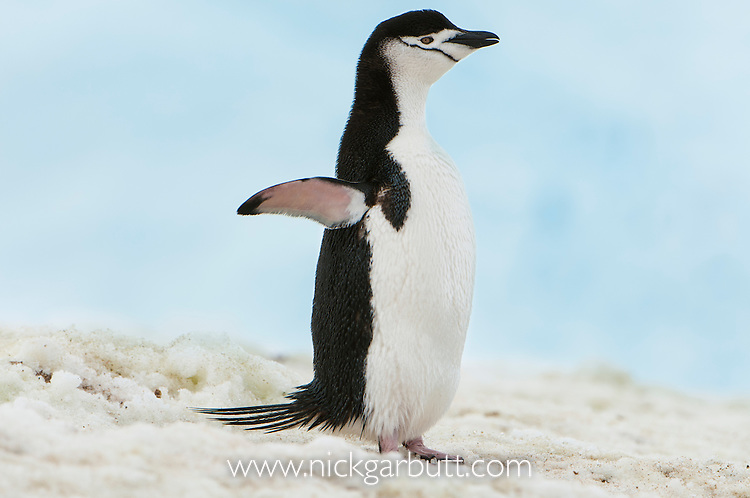 Chin-strap Penguin (Pygoscelis antarctica). Neko Bay, Antarctic Peninsula, Antarctica.
