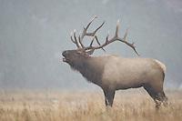 Elk, Wapiti, Cervus elaphus, bull calling in snowstorm, bugling,  Yellowstone NP,Wyoming, USA