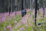 backpackers on a trail in the bob marshall wilderness in montana. a burned forest with fireweed growing along the trail.