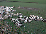 Sheep carcasses slaughtered in the FMD cull..The carcasses have been lying in fields for over a week spome up to 21 days contaminating  water sources..Chulmleigh, Devon.