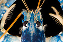 European / Common Lobster (Homarus gammarus). Controlled conditions, Cornwall, UK. May.