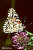 LE37-006b  Butterfly - Painted Lady Butterfly adult - Vanessa cardui (series - LE37-004a,005b,006b, 007a,015b)