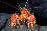 Hawaiian lobster, Enoplometopus occidentalis, Oahu, Hawaii, USA (c)