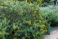Peritoma arborea (syn. Isomeris arborea or Cleome isomeris),  California Cleome or Burrofat, California native shrub flowering in Arlington Garden, Pasadena