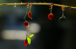 FRUITS OF THEIR LABOR..... Tiny ants carry fruits five times the size of them back to their nest.  The small colony seem impossibly strong as they transport the small chillies, which seem huge in comparison.<br /> <br /> The weaver ants even managed to carry the red fruit while hanging from a thin branch.  Amateur photographer Adhi Prayoga, 49, captured these shots in a garden in Mataram City, Indonesia.  SEE OUR COPY FOR DETAILS.<br /> <br /> Please byline: Adhi Prayoga/Solent News<br /> <br /> © Adhi Prayoga/Solent News & Photo Agency<br /> UK +44 (0) 2380 458800