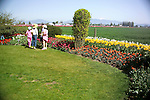 visitors to a commercial flower grower's display garden in Mt. Vernon, WA in the Skagit Valley of Washington state are treated to a springtime border of massed tulips and daffodils backed by the growing fields and hazy mountains in the distance