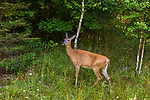 White-tailed doe feeding along the side of the road in northern Wisconsin.