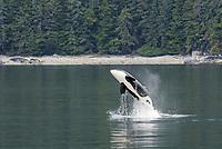 killer whale or orca, Orcinus orca, breaching, Alaska, USA, Pacific Ocean