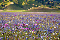 Bear Valley California carpet of wildflowers with Owl's Clover (Orthocarpus) and Lupin