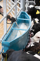 24-2-2021 Dairy calves suckling form a Milkmaid feeder<br /> ©Tim Scrivener Photographer 07850 303986<br />      ....Covering Agriculture In The UK....