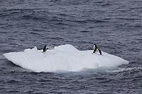Chinstrap Penguins Pygoscelis antarcticus and Gentoo penguins Pygoscelis papua resting on Ice floe, Weddel sea Southern Ocean, Antarctica