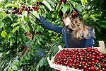 Foto: VidiPhoto<br /> <br /> KESTEREN – De kersenoogst is begonnen. In het Betuwse Kesteren helpen Lisa (17) en haar zus Michelle (16) van Capel dinsdag met het plukken van de eerste kersen van het seizoen, bestemd voor de plaatselijke Jumbo. Vandaag besteld en geplukt. Morgenvroeg in de schappen van de supermarkt. Van Capel teelt op 5 ha. kersen zo'n veertig verschillende rassen. De kwaliteit is goed, ondanks dat er dit voorjaar minder zonuren zijn geweest. Voordeel is dat de kersen onder de kap geteeld worden. Volgende week komt de kersenoogst pas goed op gang.
