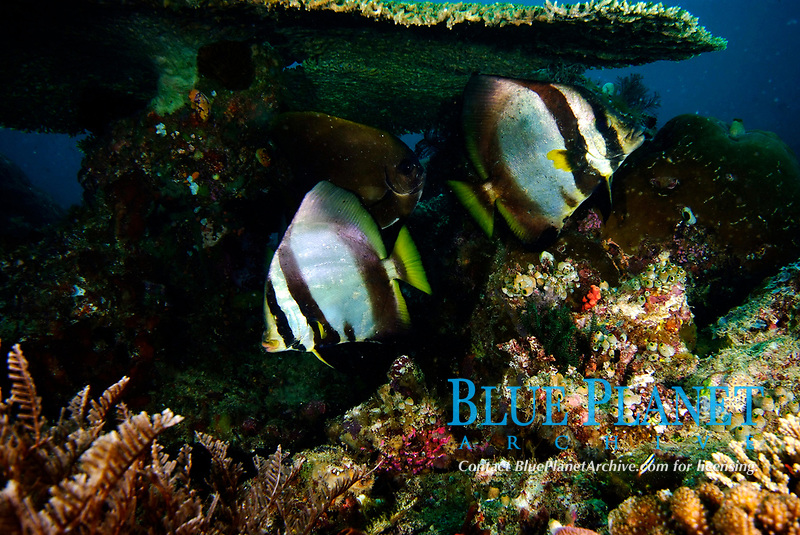 Shaded batfish, Platax pinnatus, Raja Ampat, West Papua, Indonesia, Pacific Ocean