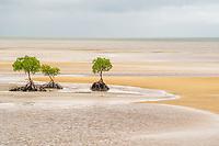 Mangrove trees at low tide near Port Douglas Australia.