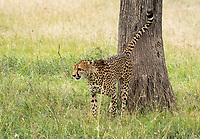 A Cheetah, Acinonyx jubatus jubatus, marks its territory by spraying a tree trunk in Maasai Mara National Reserve, Kenya