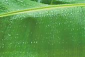 feuille de bananier