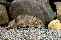 MU33-006z  Plains Pocket Mouse - Perognathus flavescens