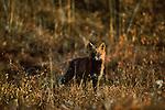 Portrait of a cross fox in Denali National Park.