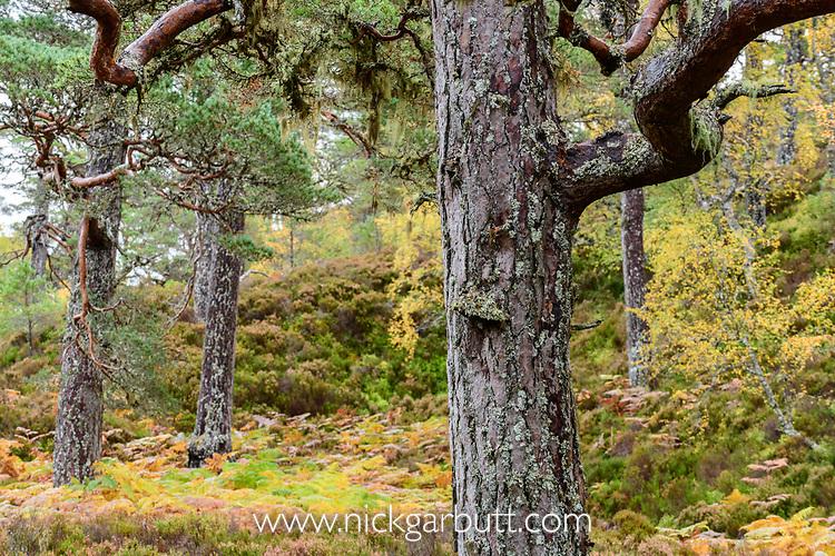 Scots pine (Pinus sylvestris), Caledonian pine forest, Glen Affric, Scottish Highlands. Scotland. October.