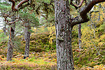 Scots pine (Pinus sylvestris), Caledonian pine forest, Glen Affric, Scottish Highlands. Scotland. October.