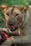 A female lion eating in Africa