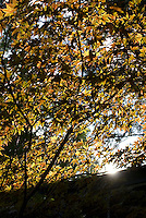 Sunlight through yellow leaves