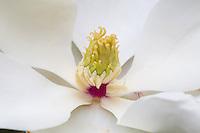 Magnolia blossom, San Antonio