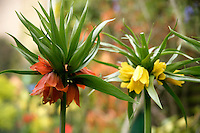 Crown Imperial / Fritillaria imperialis