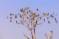 Africa, Uganda , Bunyonyi lake,cormoran nests