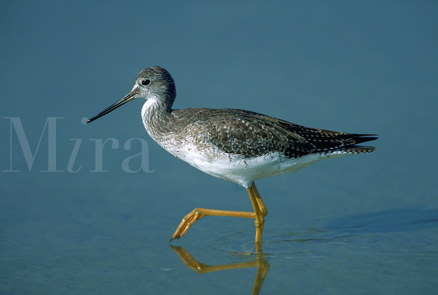 Lesser yellowlegs walking in shallowtide pool, Florida